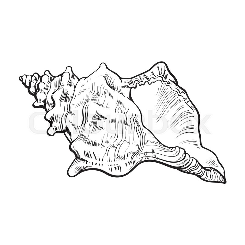 800x800 Spiral Conch Sea Shell, Sketch Style Vector Illustration Isolated