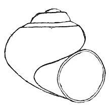 220x220 Utah Roundmouth Snail