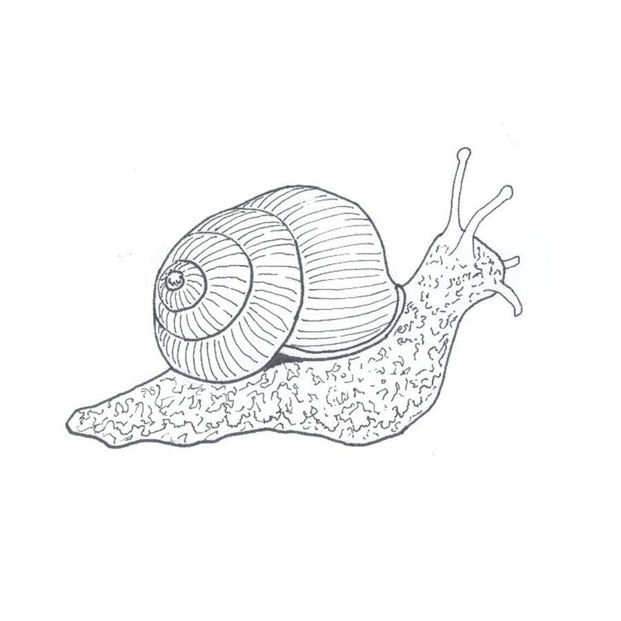 900x900 Snail Line Drawing By Fuzzbunny374