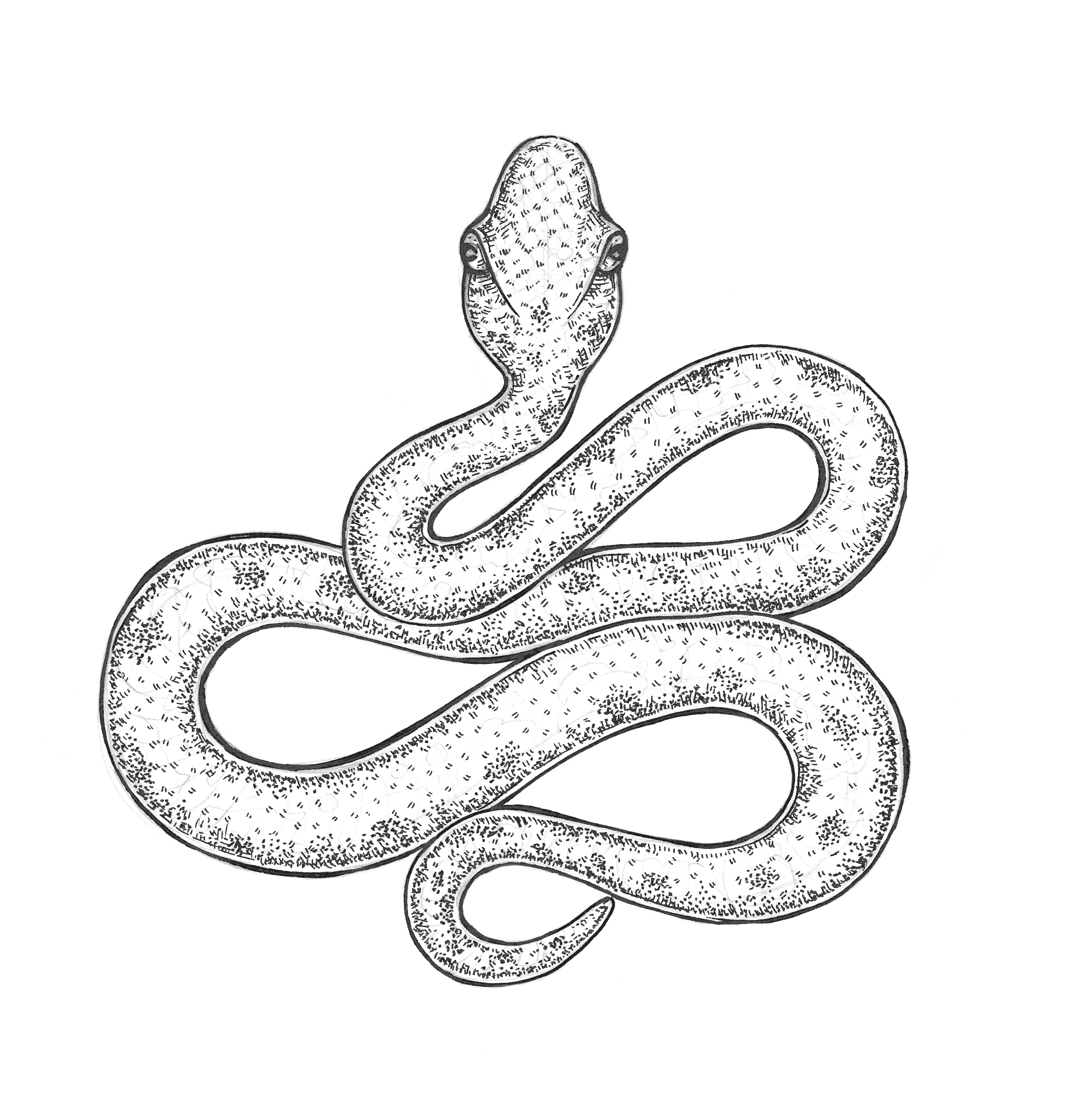 2514x2645 Snake Drawing – Eugenia Hauss