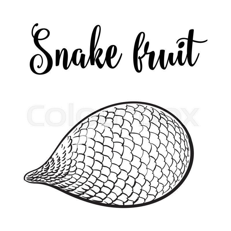 800x800 Whole Unpeeled, Uncut Tropical Salak, Snake Fruit In Horizontal