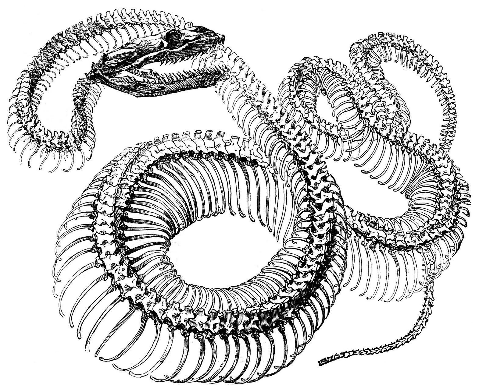 snake skeleton drawing at getdrawings com free for personal use rh getdrawings com Chameleon Skeleton Diagram Snake Parts Diagram