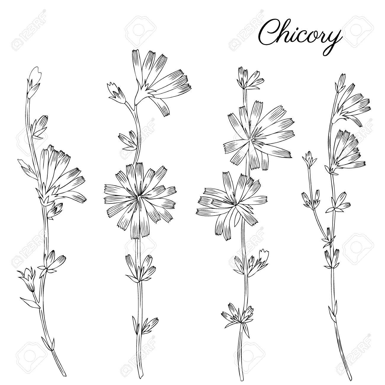 1300x1300 Chicory Flower, Bud, Leaf Hand Drawn Graphic Vector Botanical