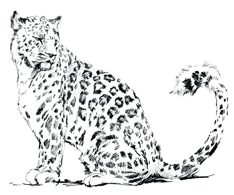 747x621 Snow Leopard Coloring Pages Snow Leopard Colouring Sheet