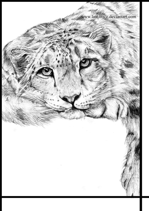600x849 Snow Leopard By Last Trace