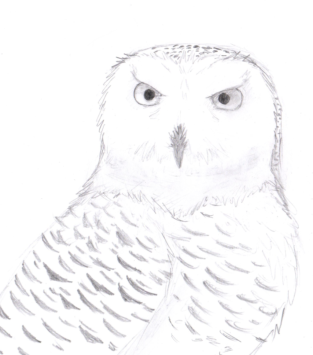 Snowy Owl Drawing at GetDrawings.com | Free for personal use Snowy ...