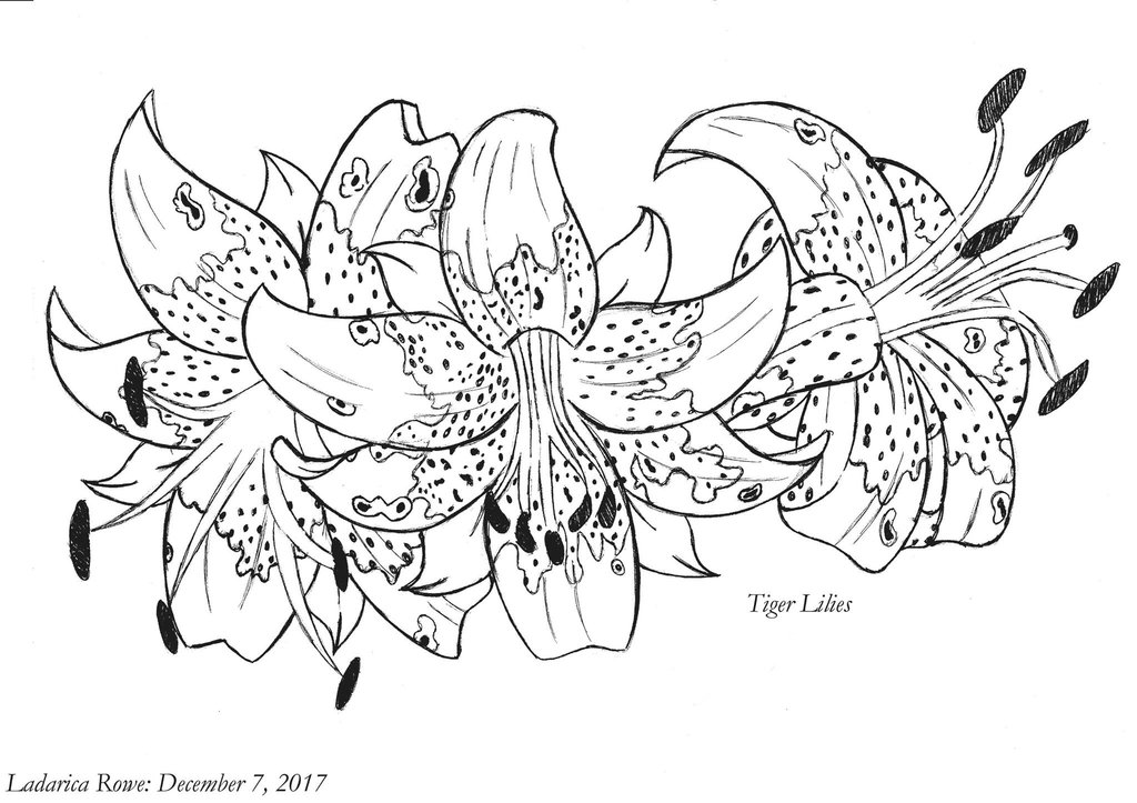 1024x723 Tiger Lily Ink Drawing