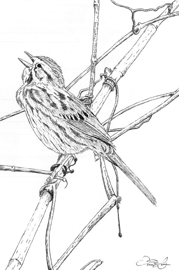 597x900 Song Sparrow Drawing By Fernando Oliveira