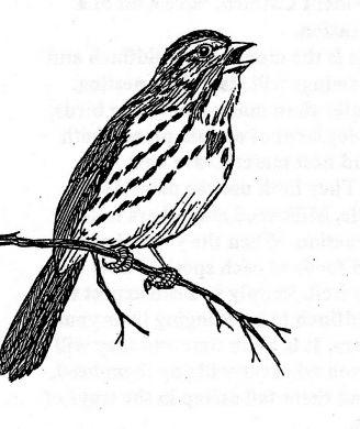 328x390 Song Sparrow