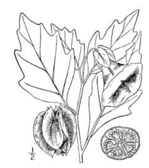 Soybean Drawing