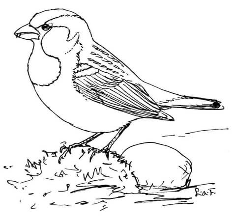 480x454 House Sparrow Coloring Page Drawings To Colour