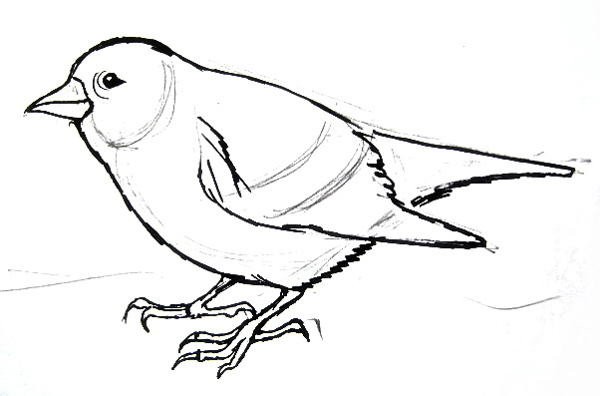 600x396 How To Draw A Siskin