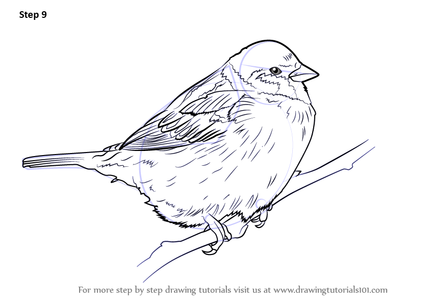 843x596 Learn How To Draw A Tree Sparrow (Birds) Step By Step Drawing
