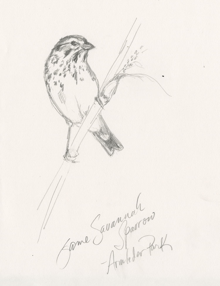 750x975 Red The Peanut Painting Drawing Savannah Sparrows