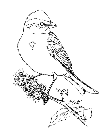 376x480 American Tree Sparrow Coloring Page Free Printable Coloring Pages