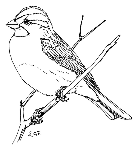 446x480 White Throated Sparrow Coloring Page Free Printable Coloring Pages