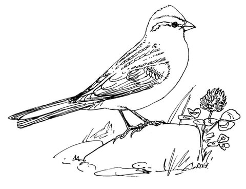 480x368 Chipping Sparrow Coloring Page Free Printable Coloring Pages