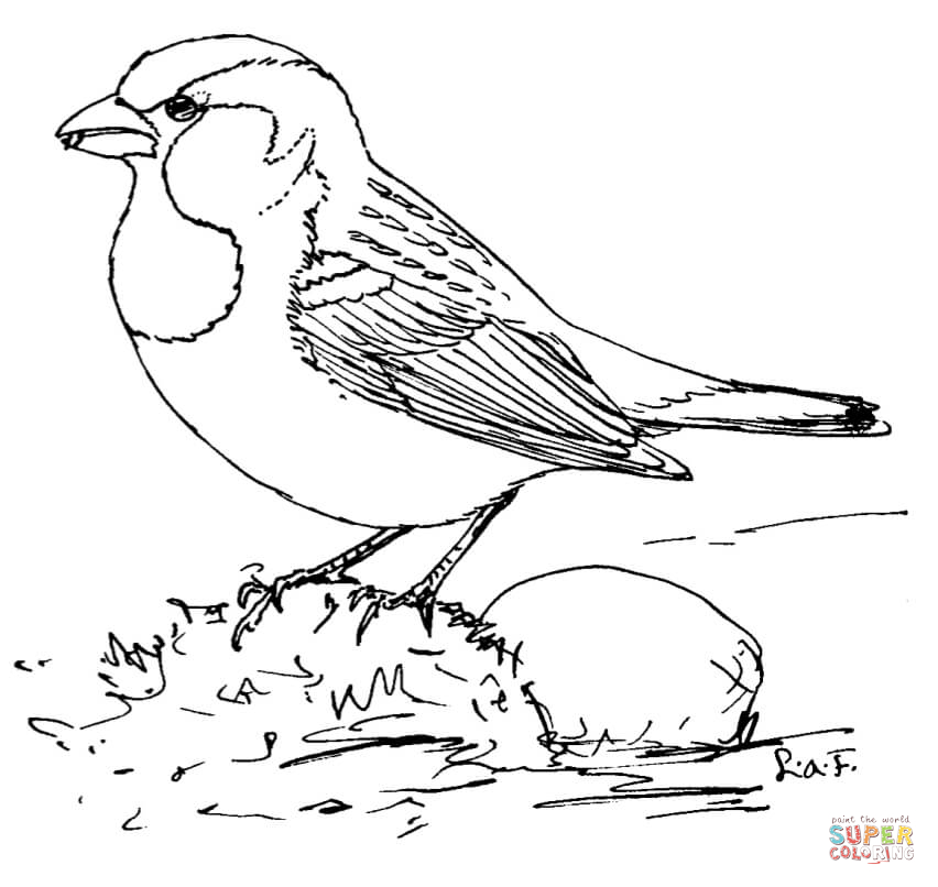 852x806 House Sparrow Super Coloring Art Adult Coloring