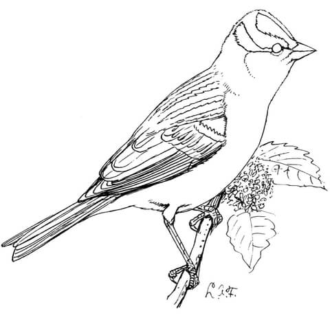 480x459 Perched White Crowned Sparrow Coloring Page Free Printable