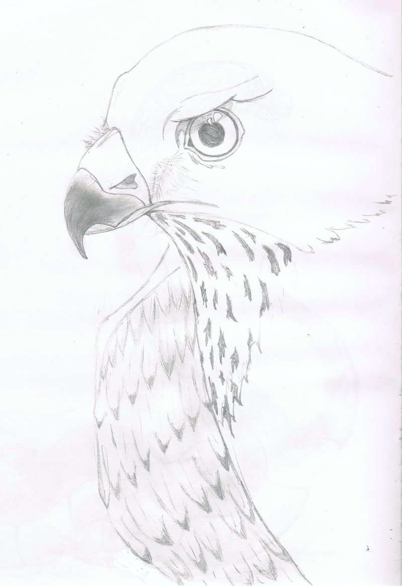 800x1167 Sparrow Hawk Drawing By Realvisioon