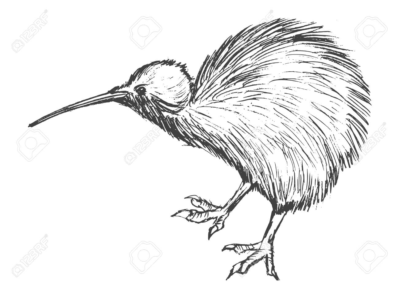 1300x974 Hand Drawn Illustration Of Kiwi Bird Royalty Free Cliparts