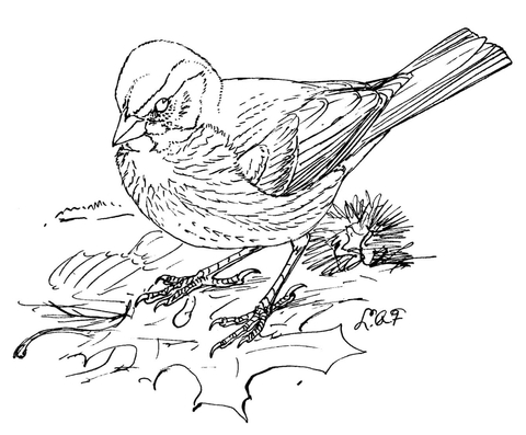 480x397 Fox Sparrow Coloring Page Free Printable Coloring Pages