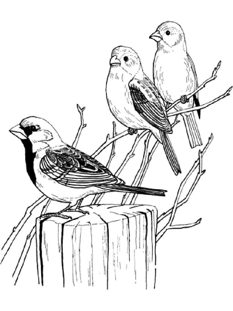 750x1000 Sparrow Coloring Pages. Download And Print Sparrow Coloring Pages