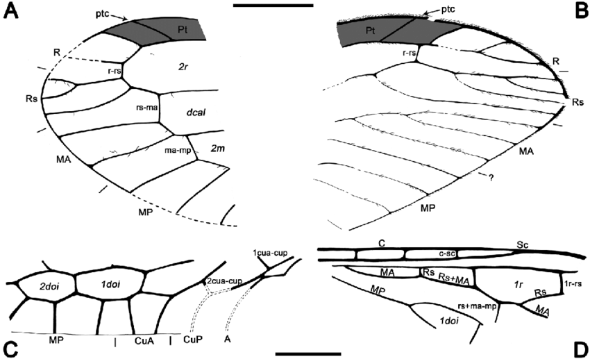 850x517 Drawings Of Fragmentary Wing Remains, Genus And Species
