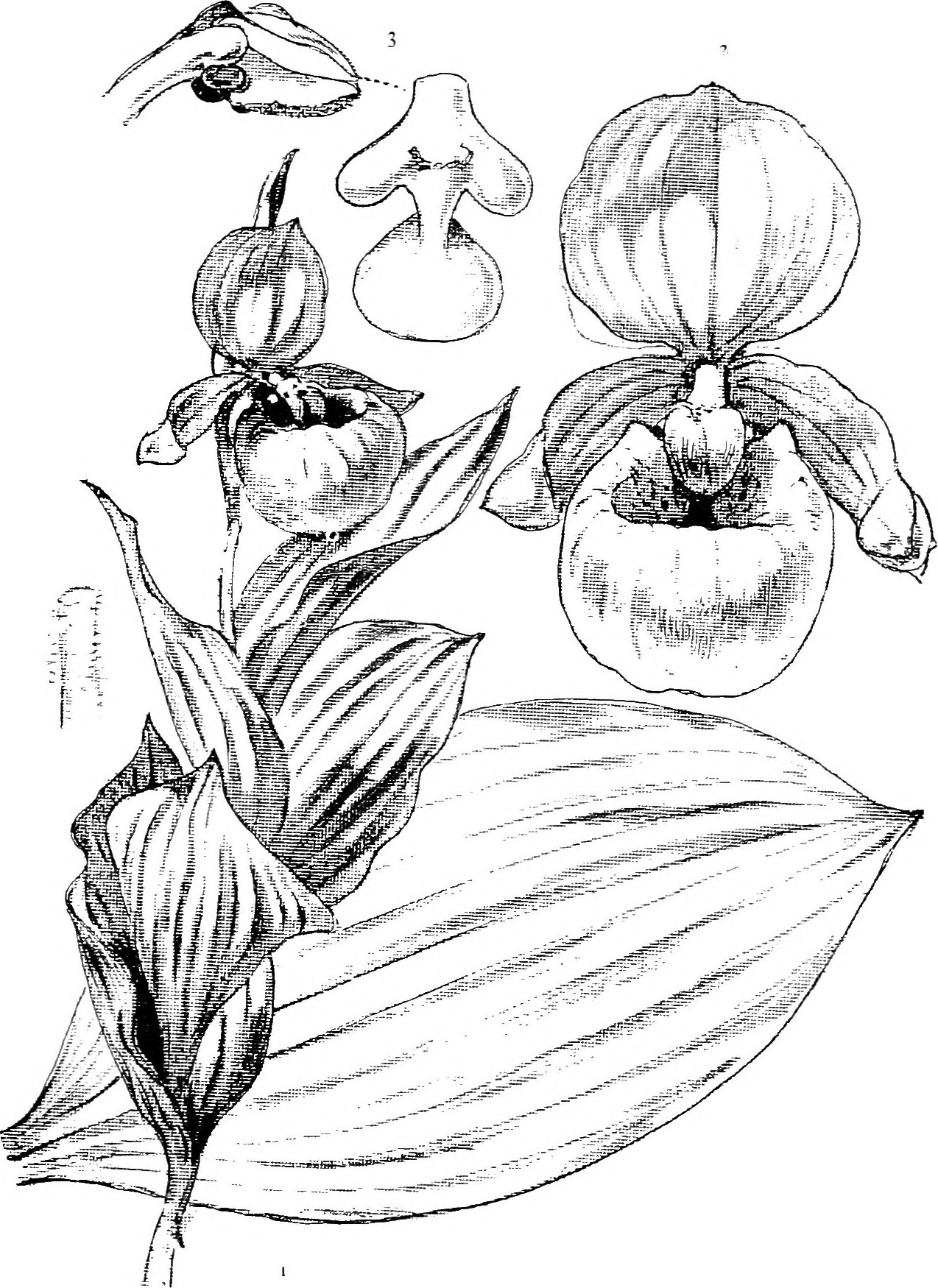 1274x1750 Fileour Native Orchids A Series Of Drawings From Nature Of All
