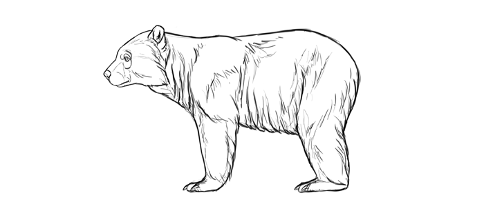 700x296 How To Draw Bears Big, Fluffy Amp Clumsy