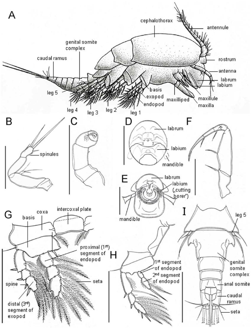 850x1112 Schematic Drawings Of Dirivultid Morphology And Important