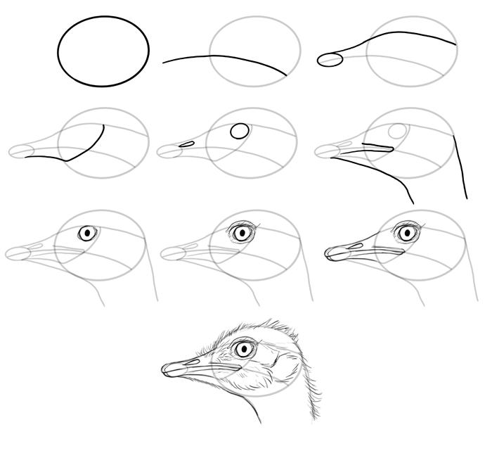 700x641 How To Draw Birds Species Head Ostriches Animal