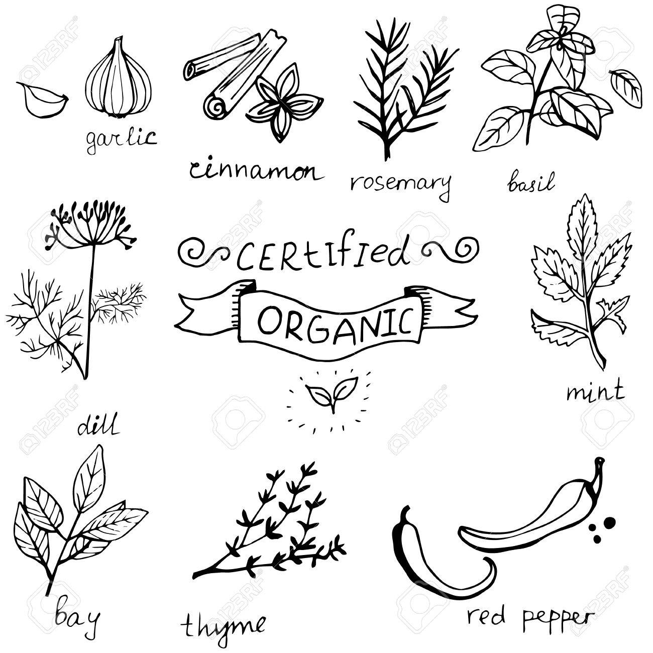 1300x1300 Vector Background With Hand Drawn Herbs Spices Organic