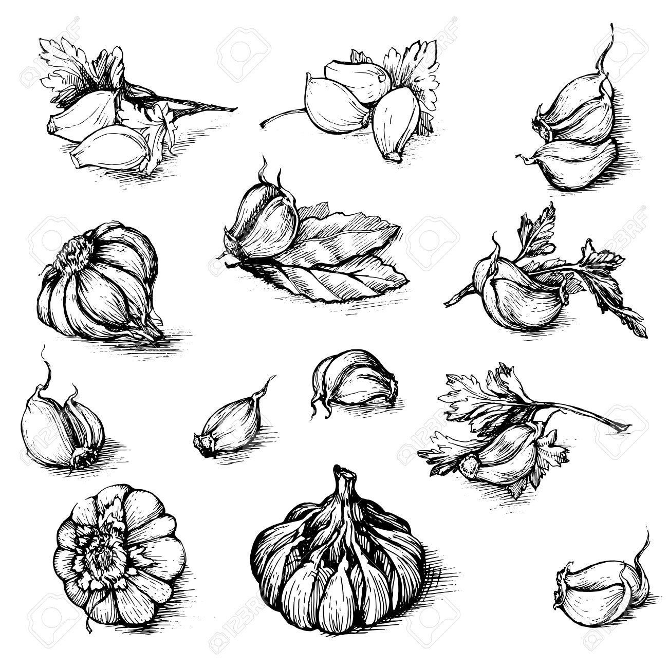 1300x1300 Vector Hand Drawn Set Of Garlic With Parsley And Laurel Leaf