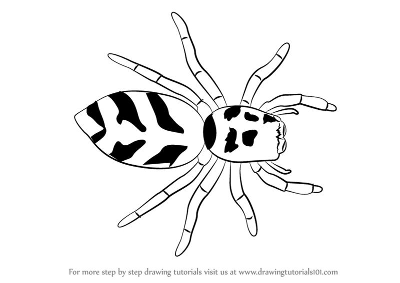 800x567 Learn How To Draw A Zebra Spider (Arachnids) Step By Step