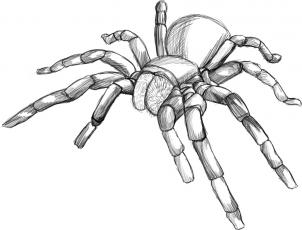 302x230 How To Draw A Tarantula Spider Step 5 Insects