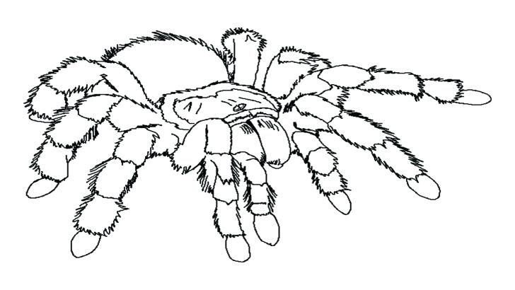 728x410 Tarantula Coloring Page Tarantula Coloring Page Tag Spider
