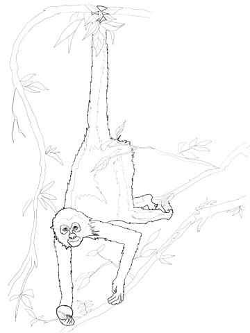 360x480 Spider Monkey Coloring Pages Omnitutor.co