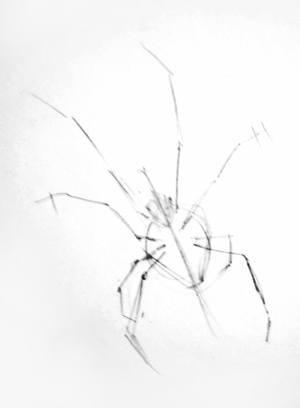 300x408 How To Draw A Black Widow Spider