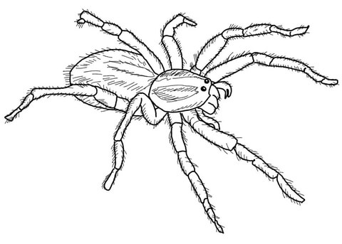 480x343 Carolina Wolf Spider Coloring Page Free Printable Coloring Pages