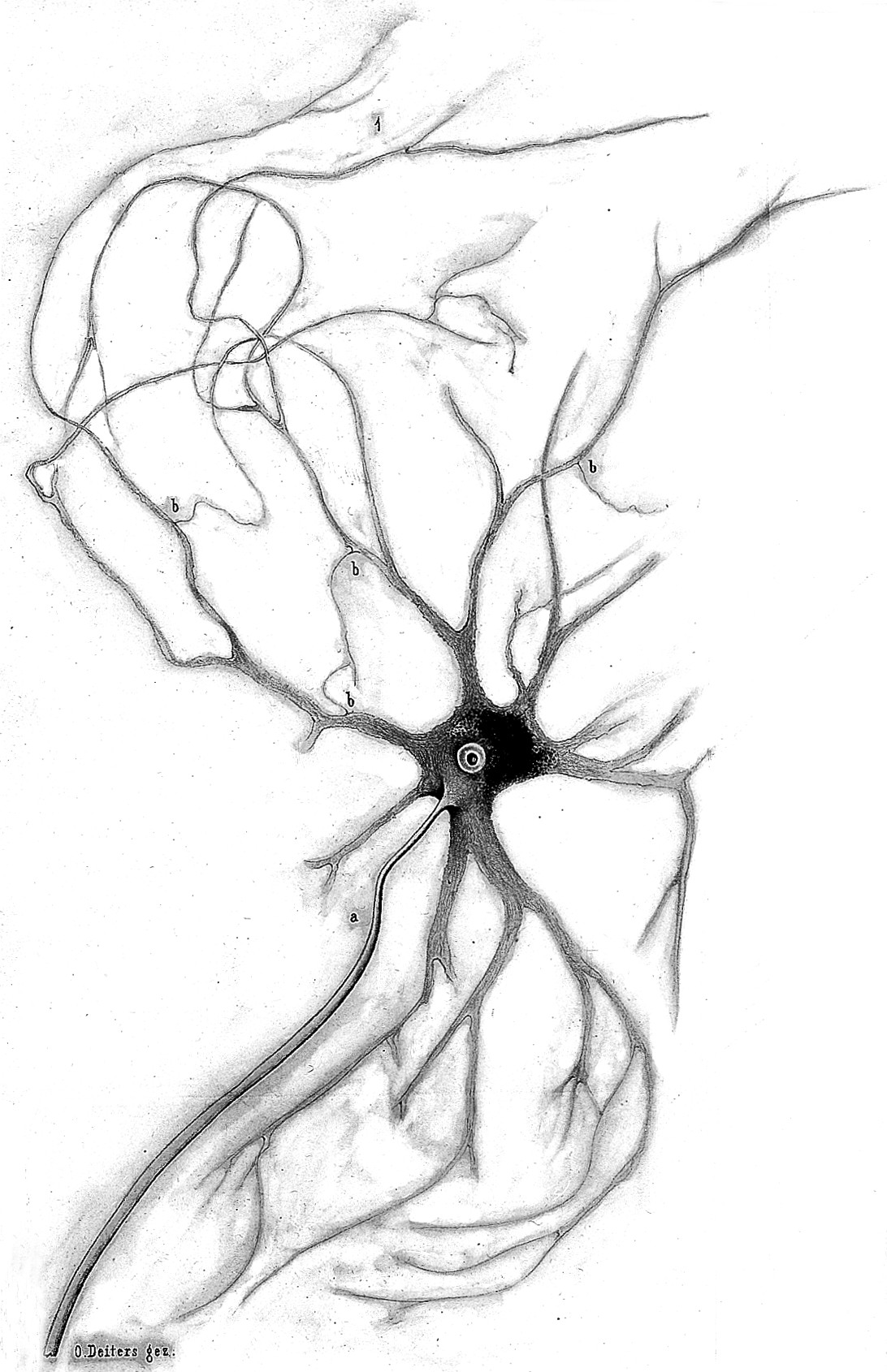 1092x1690 Filenerve Cell From Anterior Horn Of Spinal Cord Grey Matter