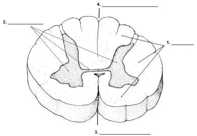 Spinal Cord Drawing