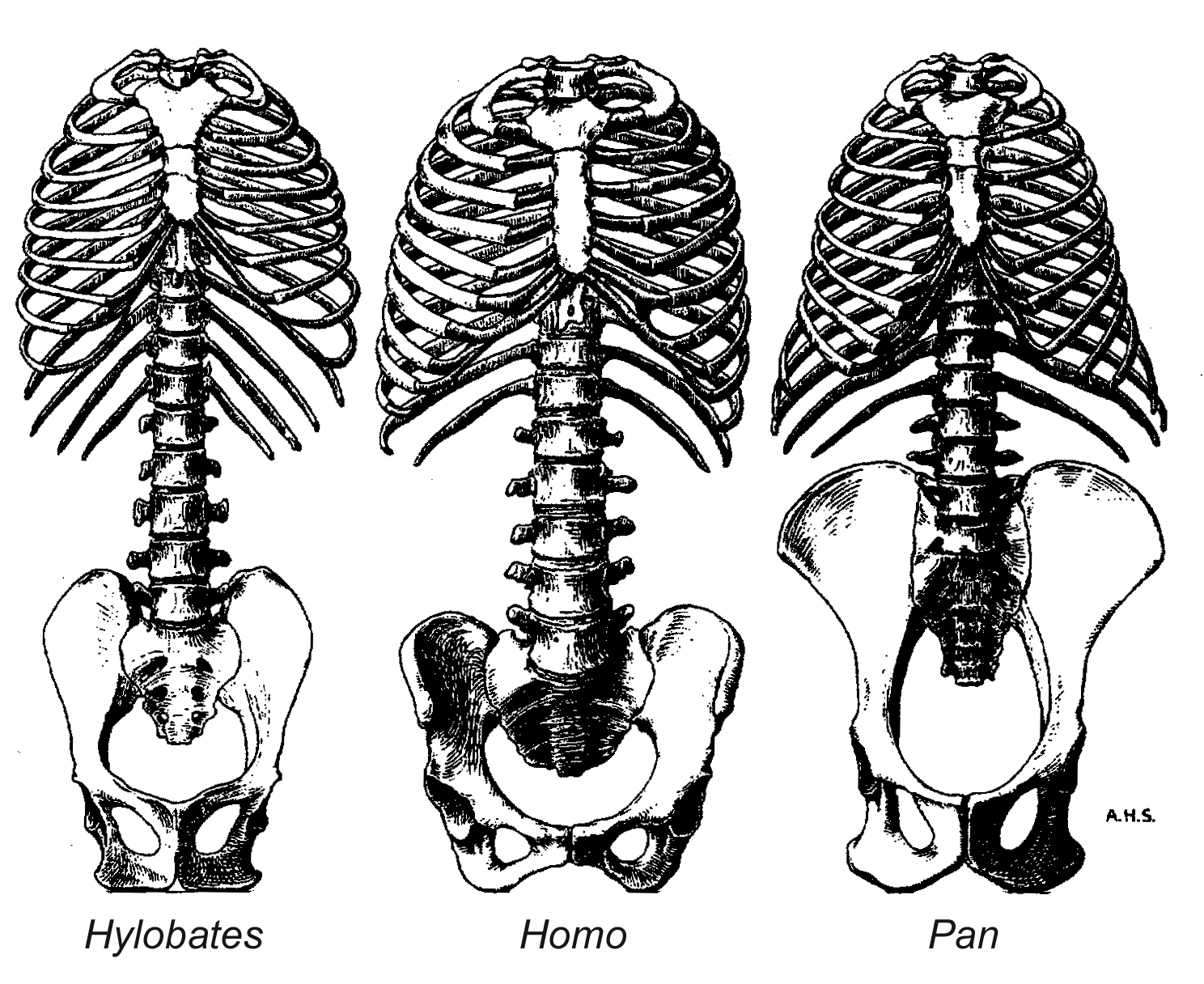 1488x1216 How To Tell If A Fossil Hominid Was Bipedal