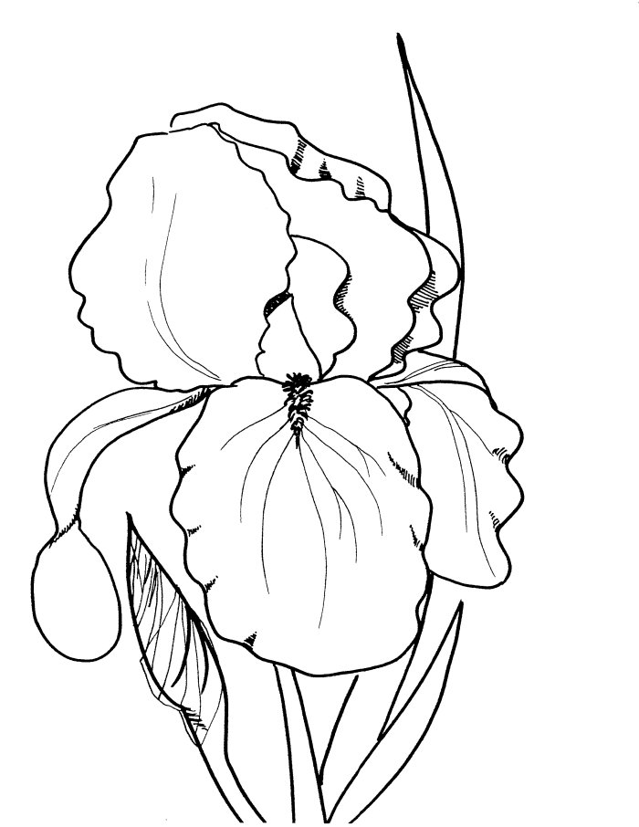 Spring flower drawing at getdrawings free for personal use 700x906 drawings of spring flowers mightylinksfo