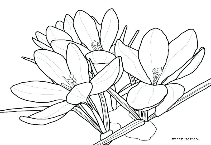 800x549 Spring Flowers Coloring Page Drawing Of A Crocus Cute Spring