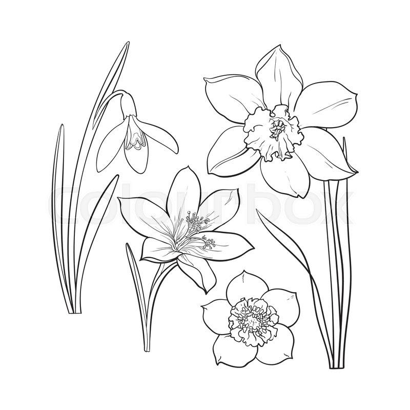 800x800 Set Of Summer Flowers, Daffodil, Snowdrop, Crocus, Sketch Vector
