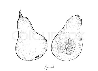 320x232 Butternut Squash Vector Drawing. Isolated Vegetable With Sliced