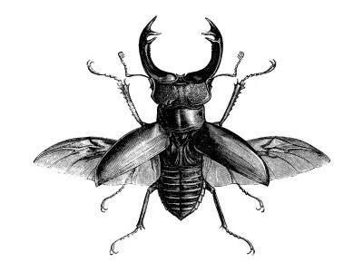 Stag Beetle Drawing
