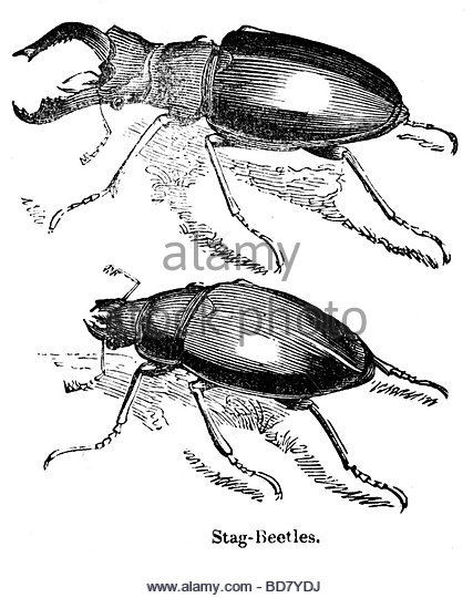 427x540 Stag Beetle Black White Illustration Stock Photos Amp Stag Beetle
