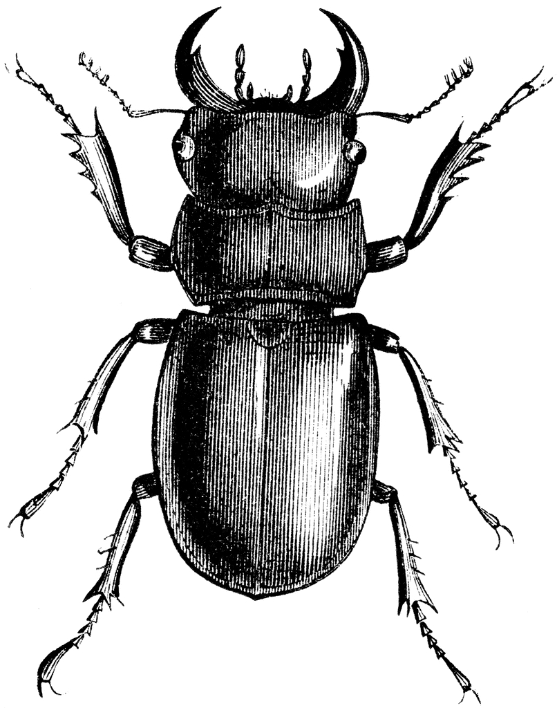 806x1024 Savebuddy Buddy Is A Stag Beetle That Is Missing 2 Legs And Needs